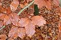 Fagus sylvatica leaf - Lahnberge 002.jpg