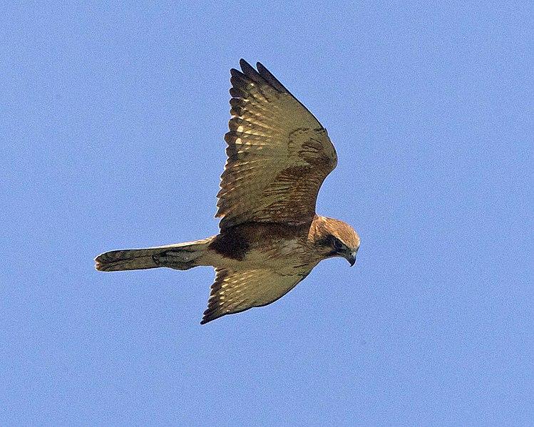 File:Falco berigora flight lowerside.jpg
