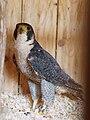 Falco peregrinus - 03.jpg