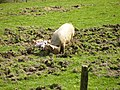 Family of pigs playing on small pig farm near Yetholm - geograph.org.uk - 409934.jpg