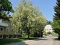 Faulbaum Baum Blüte in Isny - panoramio.jpg