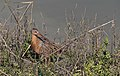 Federally endangered Ridgway's clapper rail at San Diego National Wildlife Refuge (40402167532).jpg