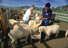 Feeding Corriedale sheep.JPG