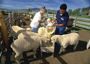 Corriedale - Corriedale sheep being fed on a Montana ranch