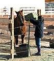 Feeding the horses (4479236507).jpg