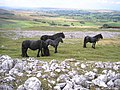 Fell ponies - geograph.org.uk - 554207.jpg