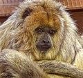 Female Black Howler Monkey (24550233271).jpg