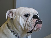 Female English Bulldog
