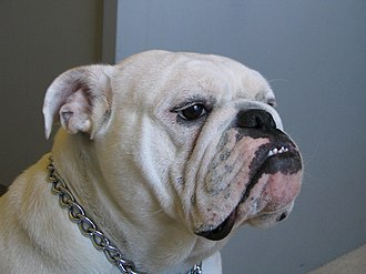 "Bulldog - Example of four-year-old Bulldog of champion bloodline, side view. Notice the ""rope"" over the nose, and pronounced underbite"