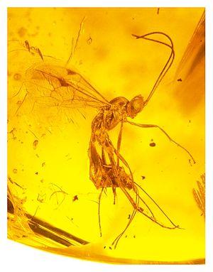 Ichneumonidae - An ichneumonid caught in amber 15-20 million years ago.
