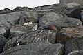 Feral cat on Qurum Beach in Muscat.jpg