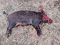 Feral hog Hill country Texas.jpg