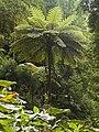Fern tree in Mata Jardim José do Canto 6.jpg