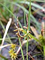 Few-flowered Sedge Carex pauciflora (6524781745).jpg
