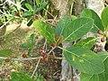 Ficus cotinifolia 33045556.jpg