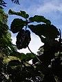 Ficus dammaropsis Diels (AM AK289883-2).jpg