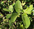 Ficus natalensis, loof, b, Pretoria.jpg