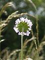Field Scabious - Knautia arvensis.jpg