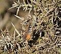 Field grasshopper. Chorthippus brunneus (36273886762).jpg