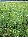 Filago vulgaris sl245.jpg