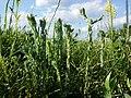Filago vulgaris sl359.jpg