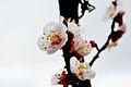 Fiore di albicocco.jpg