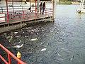 Fish in Ayutthaya - panoramio.jpg