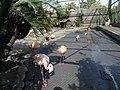 Flamingo, Atagawa.jpg