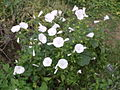 Fleur inconnue pour reconaissance.jpg