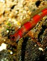Flickr - JennyHuang - yellow flagtail goby.jpg
