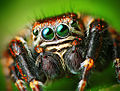 Flickr - Lukjonis - Male Jumping spider - Evarcha arcuata (Set of pictures).jpg