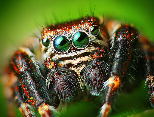Flickr - Lukjonis - Male Jumping spider - Evarcha arcuata (Set of pictures)