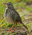 Flickr - Rainbirder - Malindi Pipit (Anthus melindae).jpg
