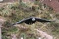 Flight Of The Condor (41689810).jpeg