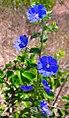 Flor da caatinga.jpg