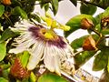 Flor de Maracujá em meio à cidade.jpg