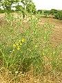 Flora della Riserva Naturale Valle dell'Aniene 4.JPG
