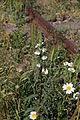 Flora della Sardegna 131 (1).JPG
