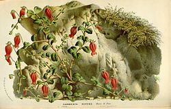 Flore des serres v16 069a.jpg