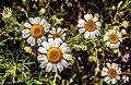 Flores de margarita.jpg