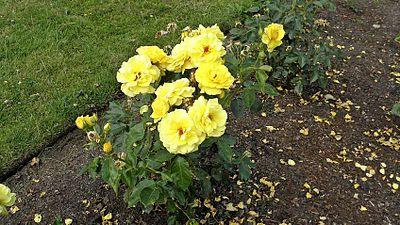 Floribunda - Sunsprite 14 (cr).JPG