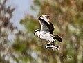 Florida georgetown ospreys (17698199878).jpg