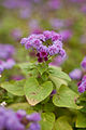 "Flower, Ageratum ""Blue Danube"" - Flickr - nekonomania (1).jpg"