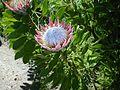 Flower-Protea01.jpg