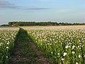 Footpath through opium poppies, Hampstead Norreys - geograph.org.uk - 876363.jpg