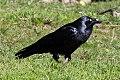 Forest Raven (Corvus tasmanicus) (8079689095).jpg