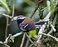 Formicivora serrana - Serra anwren (male).jpg