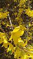Forsythia of Beijing Botanical Garden-close up.JPG