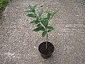 Fortunella margarita (small tree).JPG