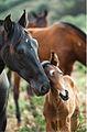 Fotografo-de-caballos-pura-raza-andaluz.jpg